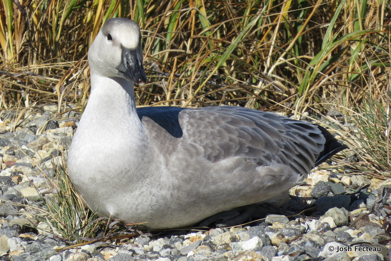 Photo of Snow Goose (white morph juvenile)