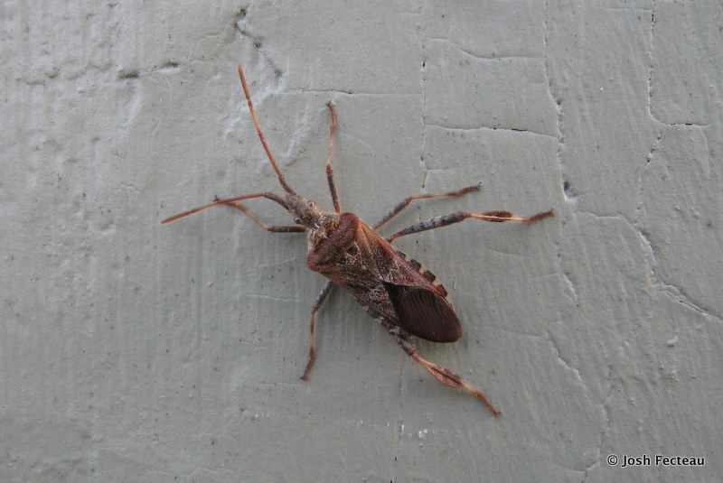 Photo of Western Conifer Seed Bug