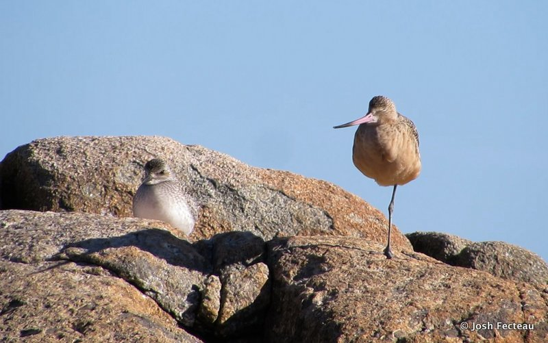 Photo ofBlack-bellied Plover and Marbled Godwit