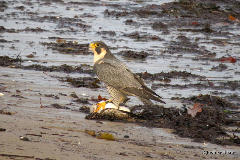 "Photo of Peregrine Falcon known as ""Feisty"""