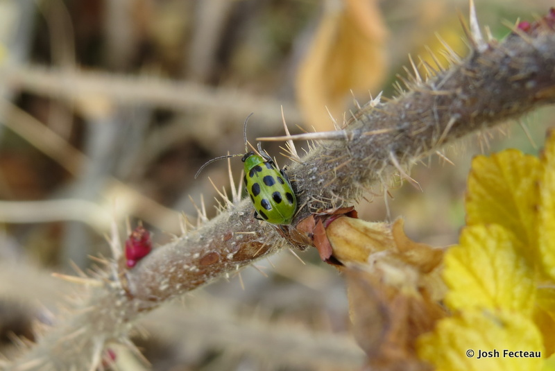 Photo of Spotted Cucumber Beetle