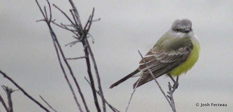 Photo of Western Kingbird