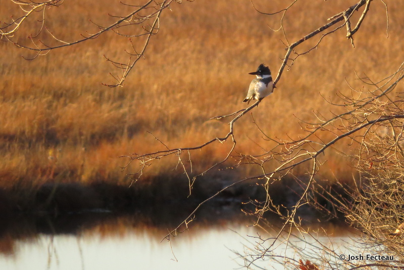 Photo of Belted Kingfisher