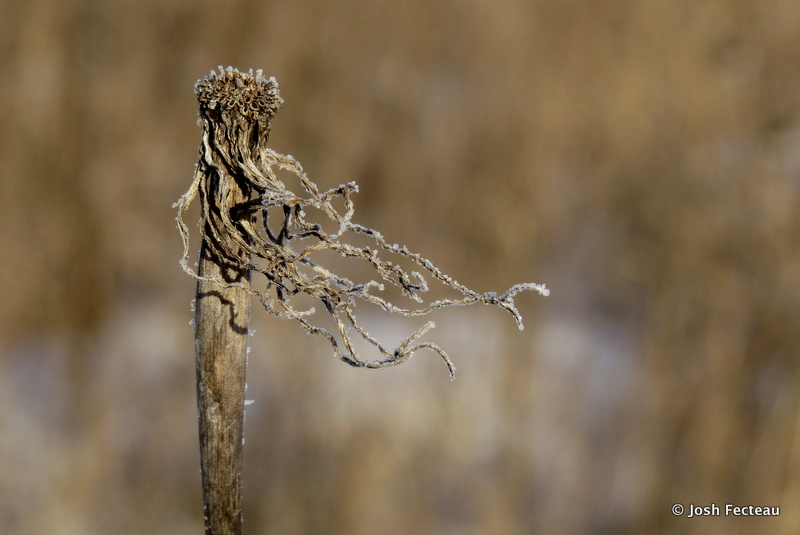 Photo of Goat's Beard (Tragopogon sp.)
