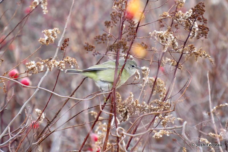 Photo of Orange-crowned Warbler