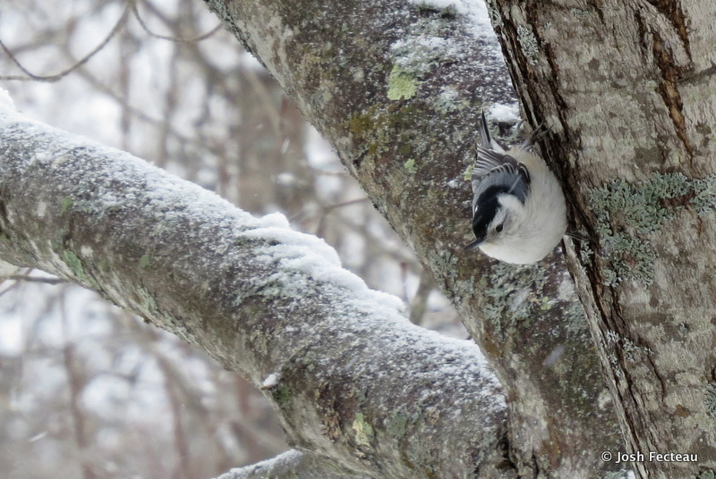 Photo of White-breasted Nuthatch