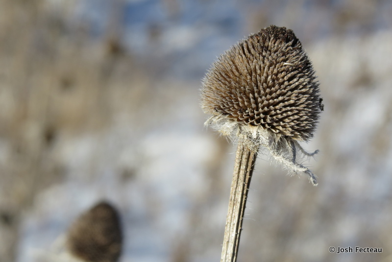 Photo of Winter form of Black-eyed Coneflower