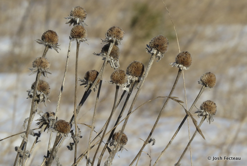 Photo of Winter form of Black-eyed Coneflowers