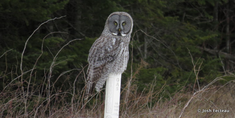 Photo of Great Gray Owl