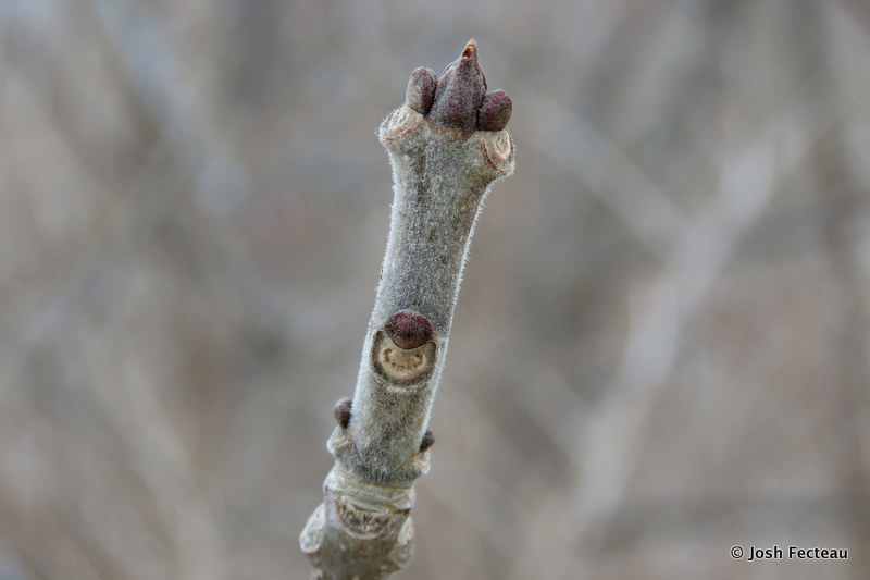 Photo of Green Ash twig