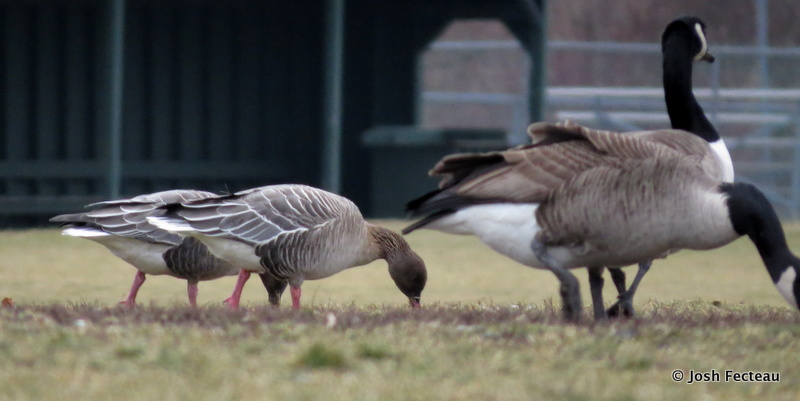 Photo of Pink-footed Geese