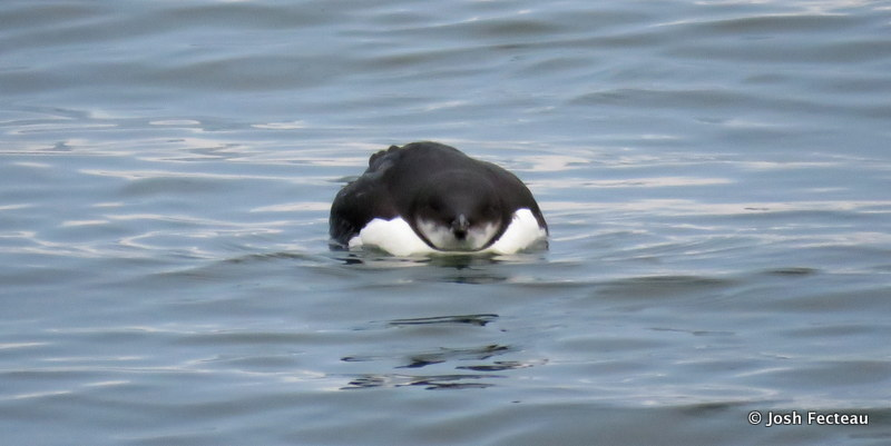 Photo of Thick-billed Murre