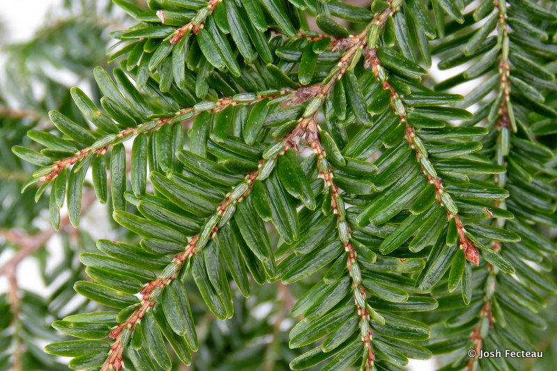 Photo of Eastern Hemlock needles