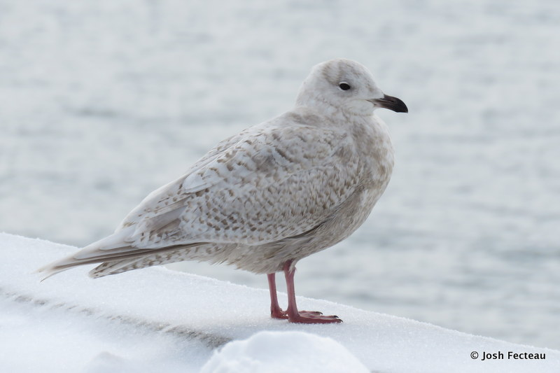 Photo of Iceland Gull