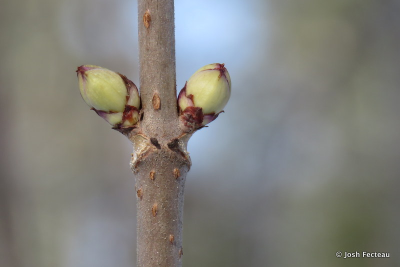 Photo of Red Elderberry flower buds