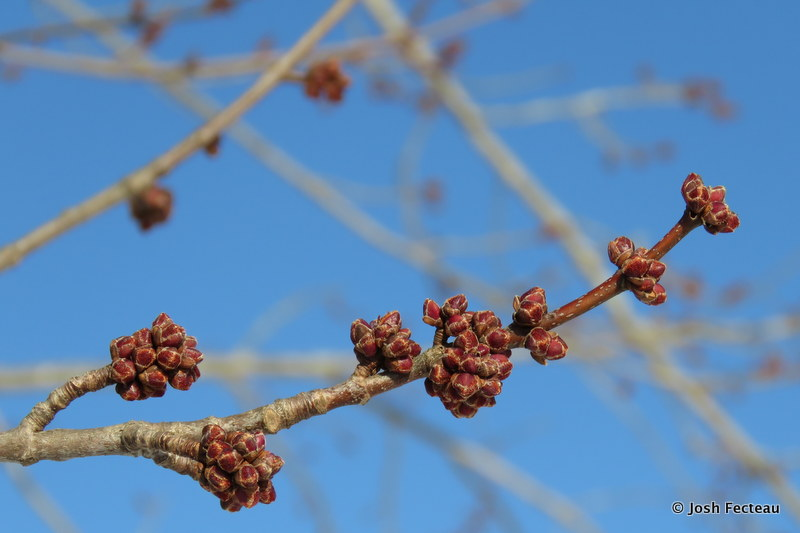 Photo of Red Maple flower buds