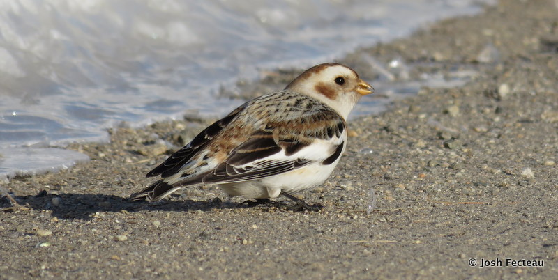 Photo of Snow Bunting