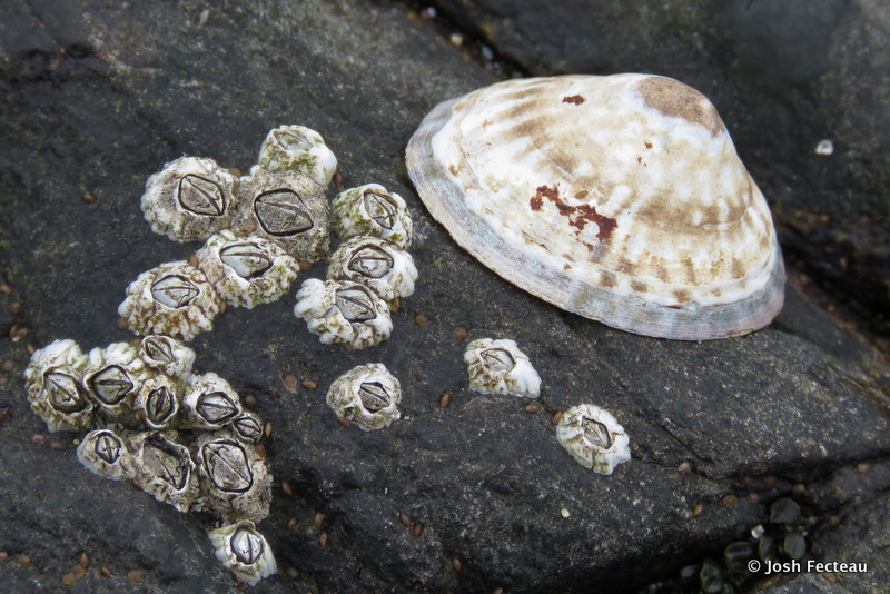 Photo of Atlantic Plate Limpet