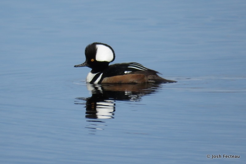 Photo of Hooded Merganser (male)