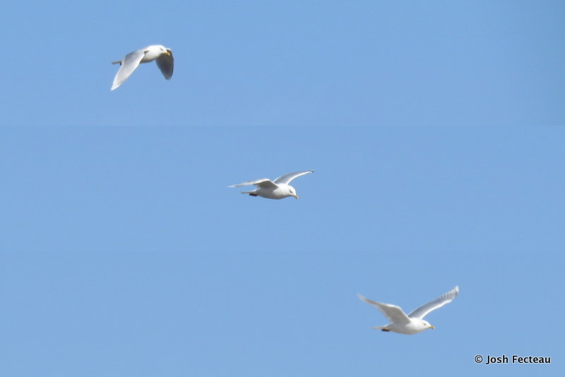 Photo of Iceland Gull (adult)
