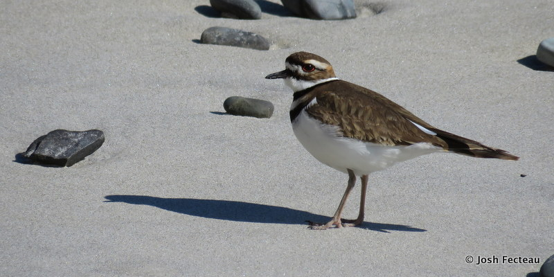 Photo of Killdeer