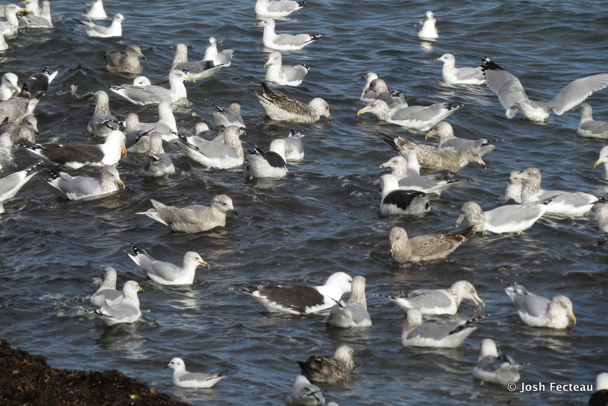 Photo of Mixed Gulls