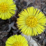 Photo of Coltsfoot flower heads
