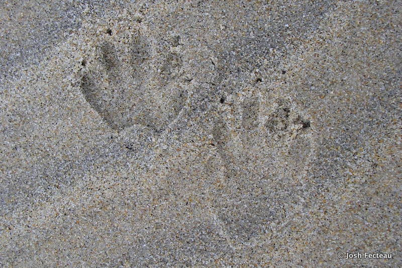 Photo of Northern Raccoon tracks