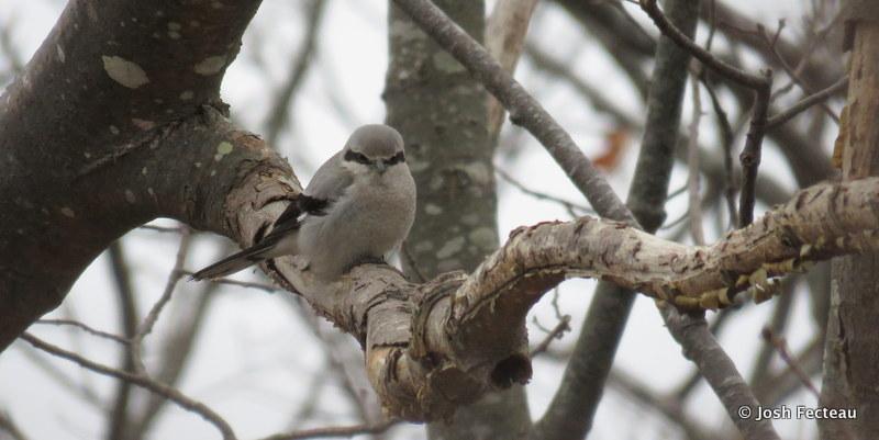 Photo of Northern Shrike