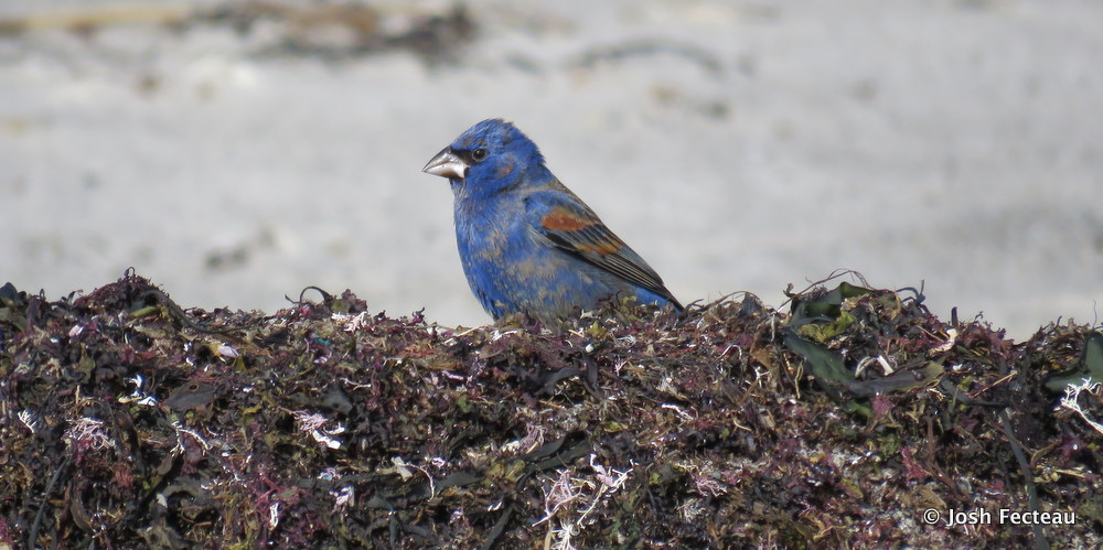 Photo of Blue Grosbeak