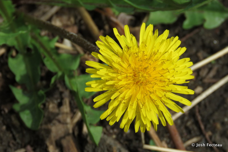 Photo of Common Dandelion flower