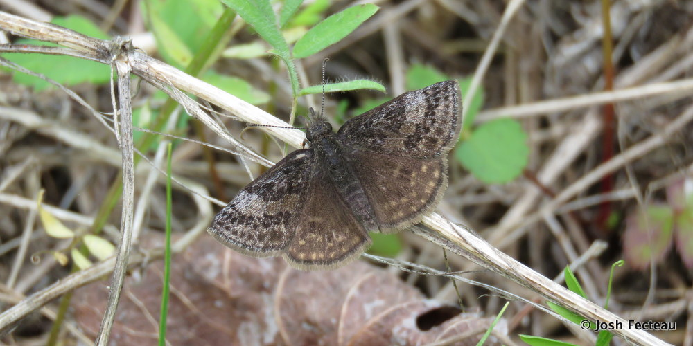 Photo of Dreamy Duskywing