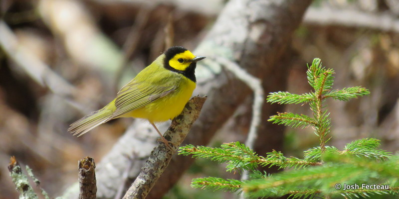 Photo of Hooded Warbler