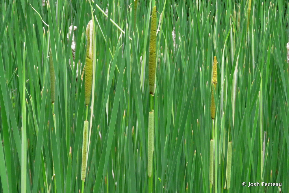 Photo of Narrow-leaved Cat-tail