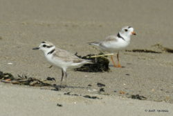 Photo of Snowy Plover (left) and Piping Plover