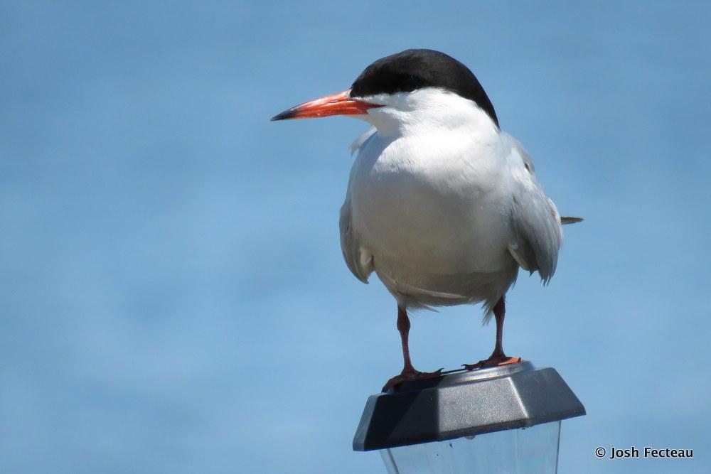 Photo of Common Tern