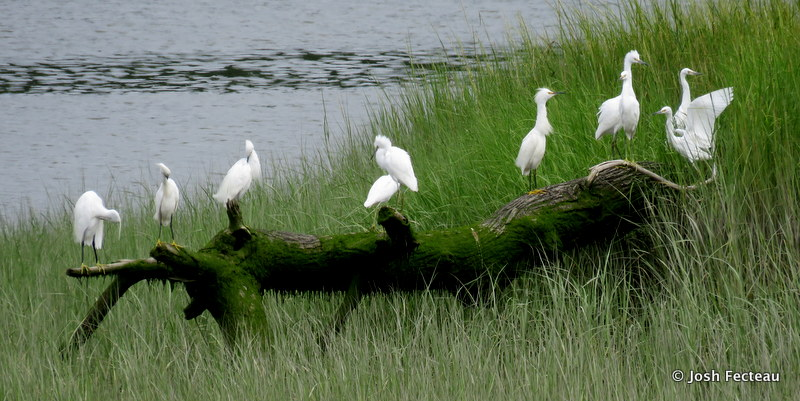 Photo of Little Egret (left) and Snowy Egrets