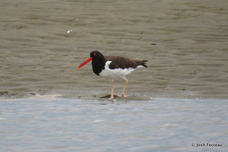 Photo of American Oystercatcher