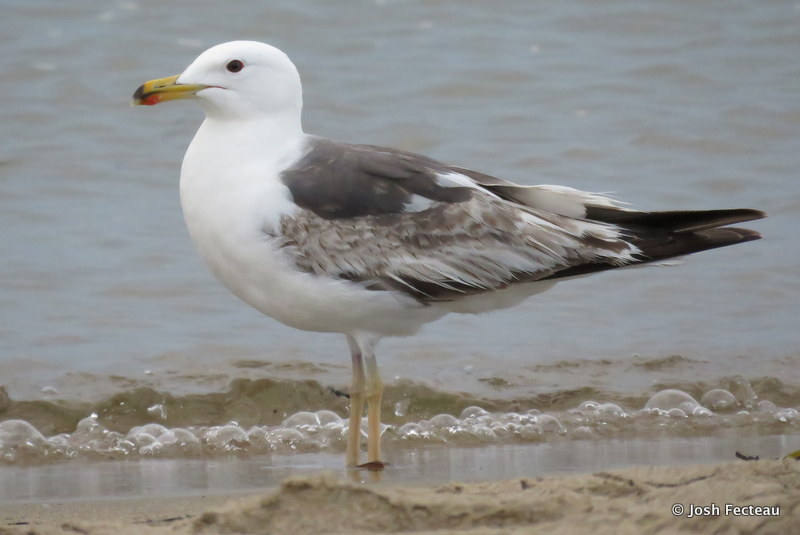 Photo of Lesser Black-backed Gull