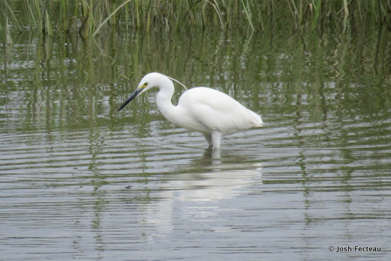 Photo of Little Egret (25 Jul 2017)