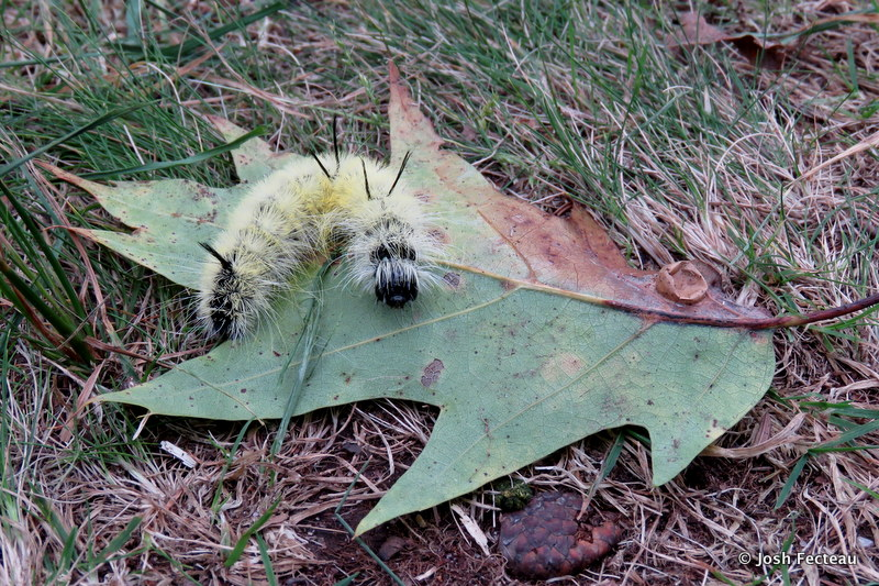 Photo of American Dagger Moth caterpillar