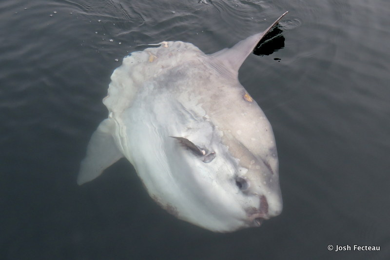 Photo of Ocean Sunfish (Mola mola)