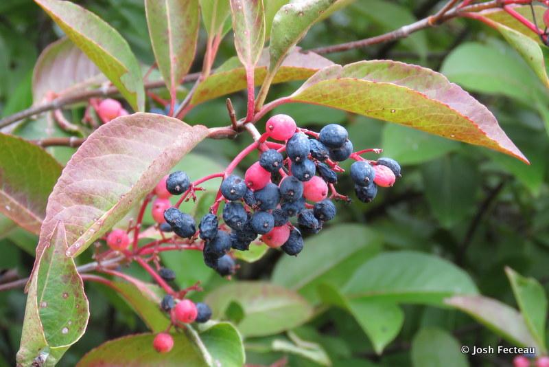 Photo of Withe-rod fruit