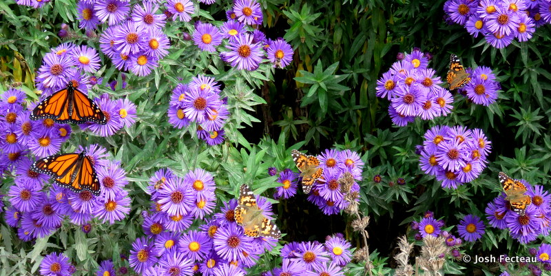 Photo of Butterflies on New England American-aster