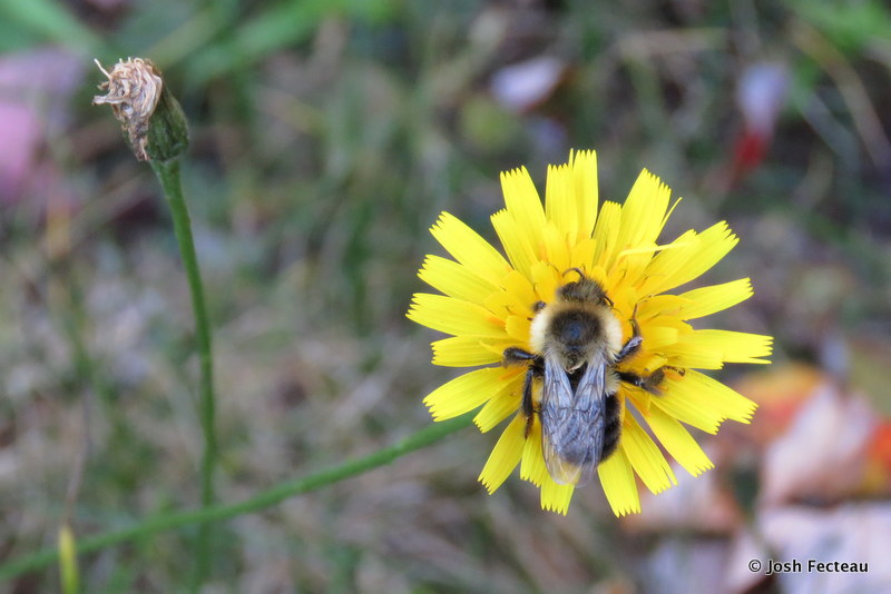Photo of Bee on Fall-dandelion