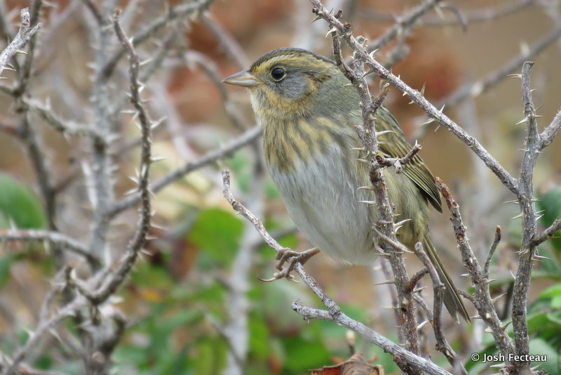 Photo of Nelson's Sparrow