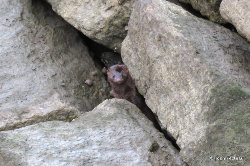 Photo of American Mink
