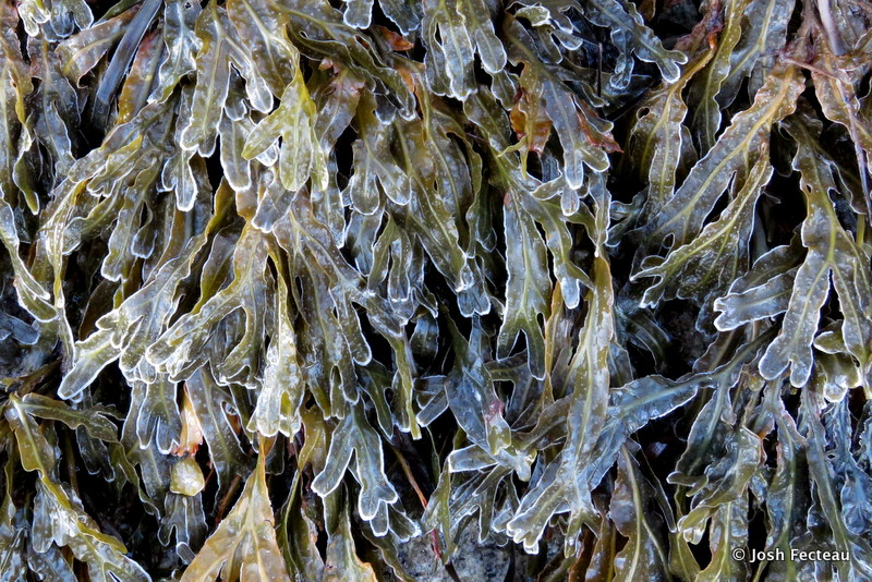 Photo of frost-edged Fucus