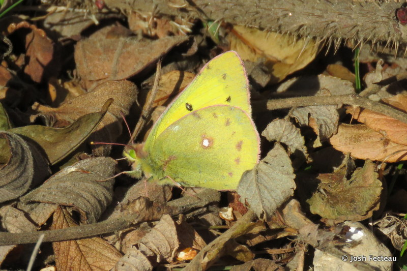 Photo of Orange Sulphur