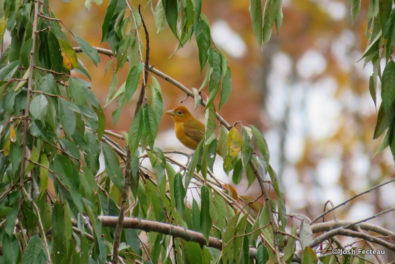 Photo of Summer Tanager
